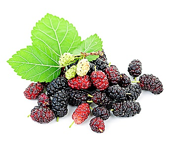 Mulberry Royalty Free