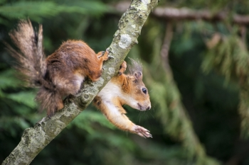 Cute red squirrel playing in tree trying to reach food