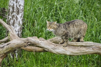 Beautiful Scottish Wildcat relaxing on tree in Summer sunlight
