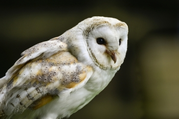 Beautiful portrait of barn owl tuto aluco