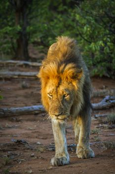 African lion male walking in twilight in Kruger National park South Africa ; Specie Panthera leo family of Felidae African lion in Kruger National p