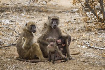 Chacma baboon family with babies in Kruger National park South Africa ; Specie Papio ursinus family of Cercopithecidae Chacma baboon in Kruger Natio