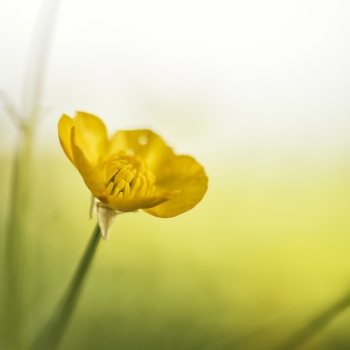 Beautfiul macro image of Spring buttercup with boken background