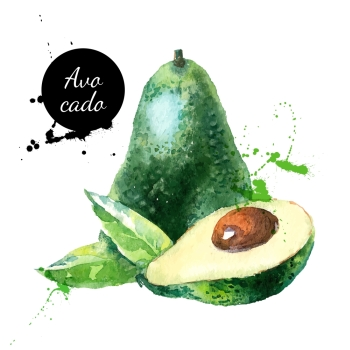 Hand drawn watercolor painting on white background Vector illustration of fruit avocado