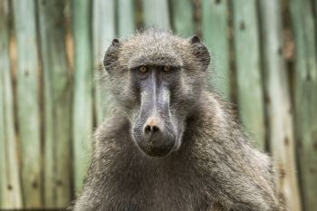 Chacma baboon portrait in Kruger National park South Africa ; Specie Papio ursinus family of Cercopithecidae Chacma baboon in Kruger National park