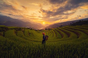 Tribal woman farmer with paddy rice terraces agricultural fields in countryside of Mu Cang Chai Yen Bai mountain hills valley in South East Asia
