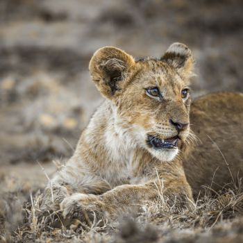 African lion in Kruger National park South Africa ; Specie Panthera leo family of Felidae African lion in Kruger National park South Africa