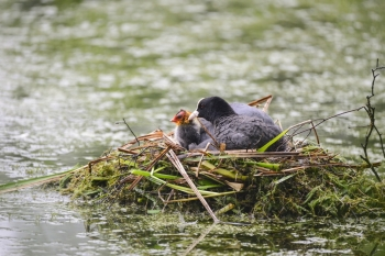 Coot rallidae fulica water bird on nest with chicks