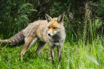 Beautiful male fox in long lush green grass of Summer field