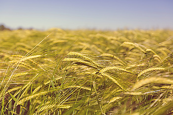 Wheat field close up shot