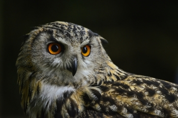 Beautiful portrait of European Eagle Owl bubo bubo