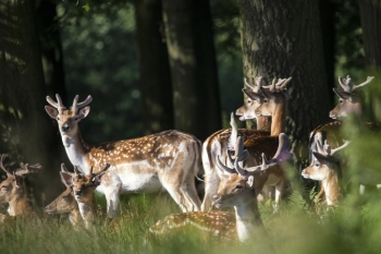 Group of young Fallow Deer stags and bucks in countryside landscape