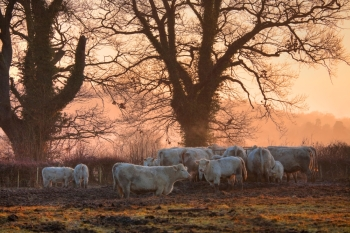 Cattle on a winters morning Weston subedge near Chipping Campden Gloucestershire England
