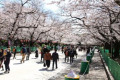 Cherry blossom season in Tokyo People enjoy cherry blossom viewing at Ueno Park in Tokyo  Japan on March 25  2020. The Tokyo metropolitan government has urged citizens to refrain from holding parties to prevent the spread of the coronavirus.  Photo by Hiroyuki Ozawa/AFLO