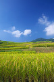 Rice fields and blue sky with clouds in Koshoku  Nagano Prefecture