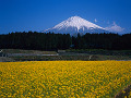 Japan  Mt Fuji  field of yellow flowers in foreground