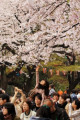 Cherry blossom viewing in Ueno Park in Tokyo April 3  2016  Tokyo  Japan - A girl  riding on the shoulders of her father  extends her hand to touch fully bloomed cherry blossoms at a park in Tokyo on Sunday  April 3  2016. Despite the rain  people enjoyed cherry blossom viewing party.  Photo by Yoshio Tsunoda/AFLO  LWX -ytd-