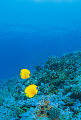 Two Masked Butterflyfish In The Ocean