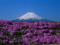 Japan  Mt Fuji  field of pink flowers in foreground