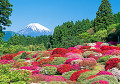 Field Of Azaleas With Mt. Fuji In The Background