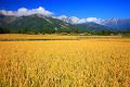 Rice field with mountains and blue sky in the background in Hakuba  Nagano Prefecture