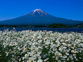 Japan  Mt Fuji  field of white flowers in foreground