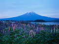 Japan  Mt Fuji  field of pink and purple flowers in foreground