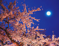 Nocturnal View  Cherry Blossoms