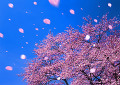 Cherry blossoms in the wind
