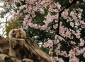 Cherry blossom viewing in Ueno Park in Tokyo April 3  2016  Tokyo  Japan - Japanese macaques are huddled together under fully bloomed cherry blossoms at a zoo in Tokyo on Sunday  April 3  2016. Despite the rain  people enjoyed cherry blossom viewing party.  Photo by Yoshio Tsunoda/AFLO  LWX -ytd-