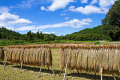 Drying rice ears and blue sky with clouds in Yamagata  Gifu Prefecture
