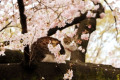 Cherry blossom viewing in Ueno Park in Tokyo April 3  2016  Tokyo  Japan - A cat sits on a branch of a cherry tree under fully bloomed cherry blossoms at a park in Tokyo on Sunday  April 3  2016. Despite the rain  people enjoyed cherry blossom viewing party.  Photo by Yoshio Tsunoda/AFLO  LWX -ytd-