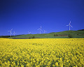 Field of Rapeseed and wind powered electric generators