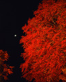 View of  Autumnal Red Leaves in Night Yamaguchi