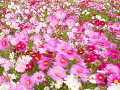 Field of Cosmos Flowers in Nabanano Village  Japan