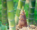 Bamboo Shoot Coming Out From The Ground