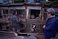 Two matured Japanese women feeding chickens in cages