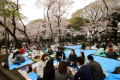 Cherry blossom viewing in Ueno Park in Tokyo April 3  2016  Tokyo  Japan - People drink and eat under fully bloomed cherry blossoms at a park in Tokyo on Sunday  April 3  2016. Despite the rain  people enjoyed cherry blossom viewing party.  Photo by Yoshio Tsunoda/AFLO  LWX -ytd-