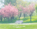 Bench Under A Blooming Tree
