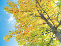 Yellow Maple Leaves Against Sky