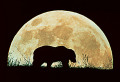 Grizzly Bear silhouetted against moon