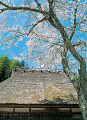 Blooming Cherry Blossoms And Old Japanese House