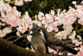 Cherry blossom viewing in Ueno Park in Tokyo April 3  2016  Tokyo  Japan - Pigeons sit on a branch of a cherry tree under fully bloomed cherry blossoms at a park in Tokyo on Sunday  April 3  2016. Despite the rain  people enjoyed cherry blossom viewing party.  Photo by Yoshio Tsunoda/AFLO  LWX -ytd-