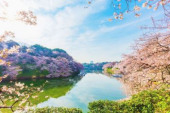 Cherry blossoms blooming downtown Tokyo