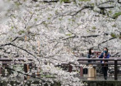 Japan daily life during cherry blossom season March 31 2020 Tokyo Japan  Women wearing masks gather at a cherry blossom spot The number of corona